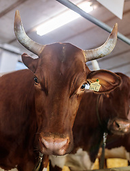 29.04.2018, Maishofen, AUT, XII Weltkongress Pinzgauer Rind, im Bild Rind mit Horn // cow with horn during the XII Pinzgauer cattle World Congress in Maishofen, Austria on 2018/04/29. EXPA Pictures © 2018, PhotoCredit: EXPA/ JFK