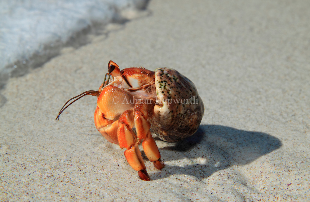 Hermit Crab (Coenobita compressus) on Quesera Beach, Curu Wildlife Refuge, Costa Rica. <br />