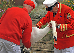 © licensed to London News Pictures. LONDON, UK.  18/07/11. David Barber (R), The Queen's Swan Marker holds a swan. Swan Upping takes place on the River Thames today (18 July 2011). Swan Upping dates from medieval times, when The Crown claimed ownership of all mute swans which were considered an important food source for banquets and feasts. Today, the cygnets are weighed and measured to obtain estimates of growth rates and the birds are examined for any sign of injury, commonly caused by fishing hook and line. The cygnets are ringed with individual identification numbers by The Queen's Swan Warden, whose role is scientific and non-ceremonial. The Queen's Swan Marker produces an annual report after Swan Upping detailing the number of swans, broods and cygnets counted during the week. Mandatory Credit Stephen Simpson/LNP