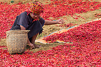 KALAW, MYANMAR - DECEMBER 07, 2016 : woman tribe harvesting red chili near Kalaw Shan state in Myanmar (Burma)