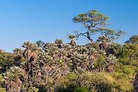 PALMERAS CARANDAY (Trithrinax campestris - fam. Palmae), CAMINO REAL, PROV. DE CORDOBA, ARGENTINA