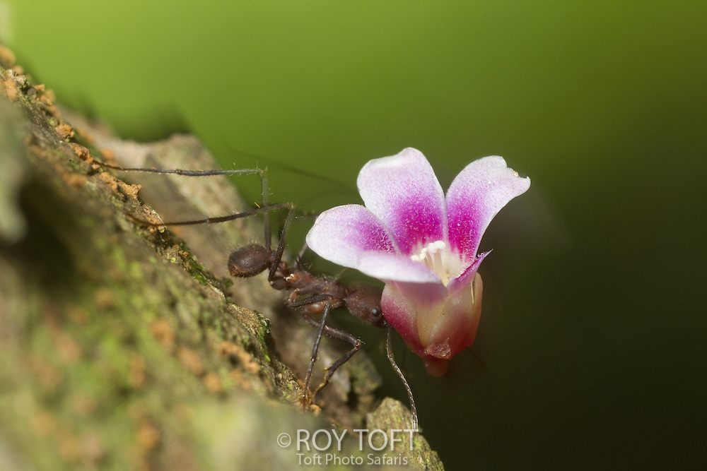 Leaf-cutter ant carrying a flower from the starfruit tree, Osa Peninsula, Costa Rica