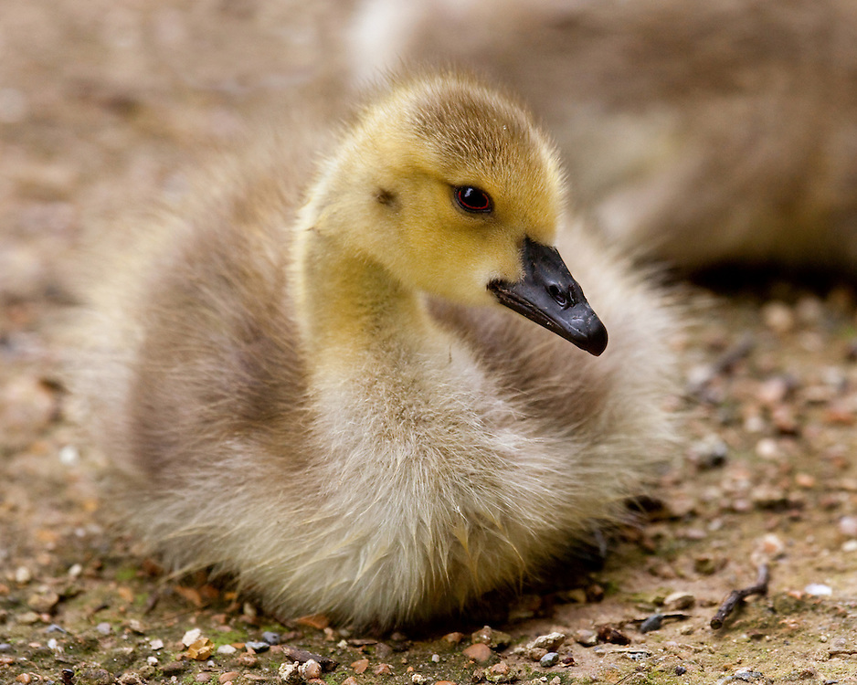 This gosling was born in the late Spring of 2009. This was taken on 6-10-2009.