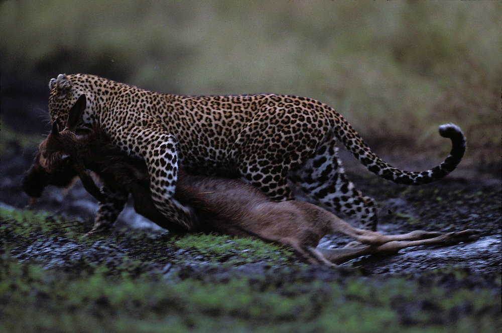 Kenya, Masai Mara Game Reserve, Adult Female Leopard (Panthera pardus) dragging Wildebeest kill through tall grass to cover