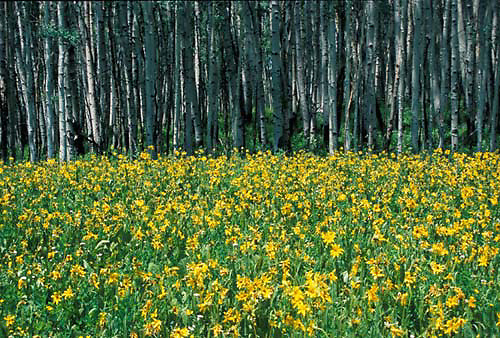 Sunflowers & aspen, Colorado