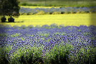 Field of English lavender, Toodyay, Avon Valley, Western Australia