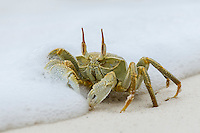Ghost Crab (ocypode ceratophthalma) feeding on the beach amongst the foam of breaking waves, D'Arros Island and St Joseph Atoll, Amirantees, Seychelles,