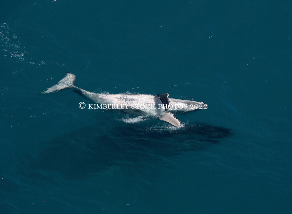A young humpback whale calf travels on the surface whilst its mother swims just underneath.  Photographed from a Jetranger helicopter just off Broome's Cable Beach, in Western Australia's Kimberley region.  Western Australia's Kimberley coast is home to the world's largest population of Humpback whales, estimated at approximately 22,000.
