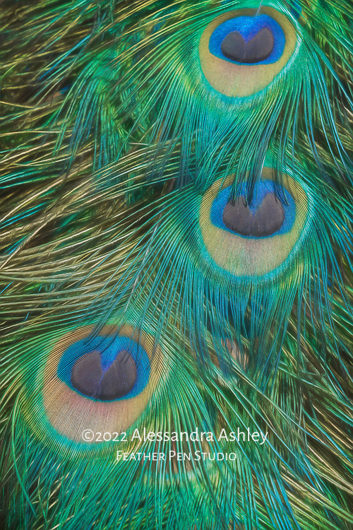 Showy tail feathers of India blue peacock in close-up view.