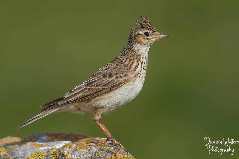 Landscape of adult Skylark with crest raised - Wirral, April