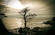 Ravaged tree near the Lone Cypress at Pebble Beach