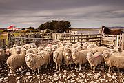 Flock of sheep in pen, Long Island farm, Falkland Islands.