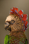Red-fan Parrot (Deroptyus accipitrinus) CAPTIVE. Wild caught and Part of LEGAL pet trade<br /> Georgetown<br /> GUYANA<br /> South America