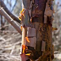 The shredding bark of the Paperbark Maple (Acer griseum).