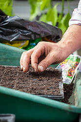 Sowing winter bedding in a module seed tray - violas.