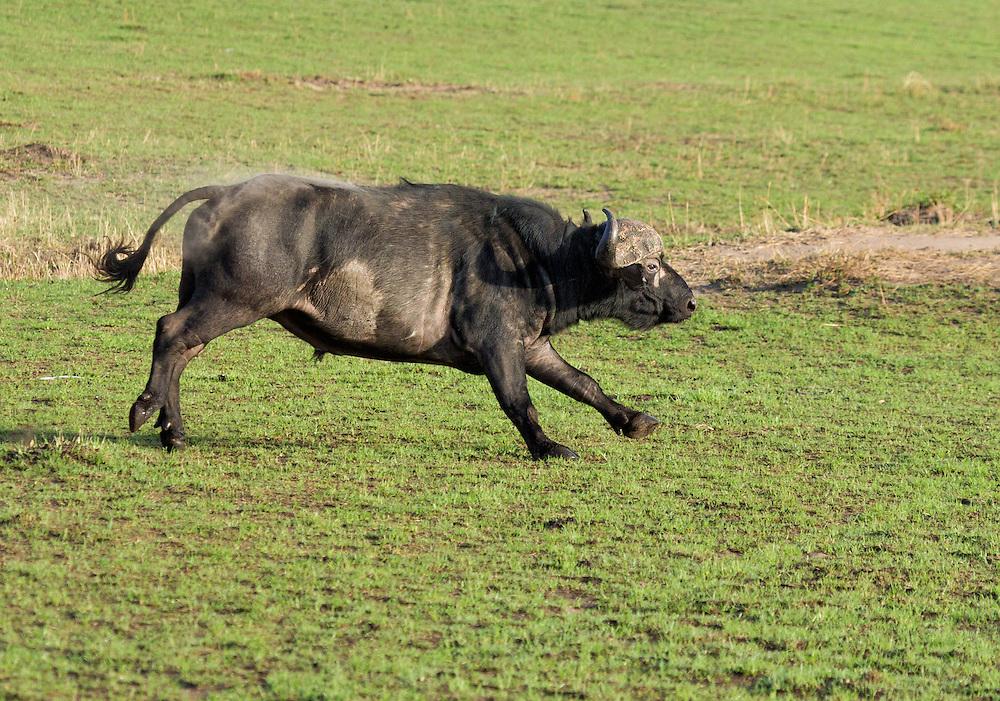 African buffalo or Cape buffalo (Syncerus caffer)