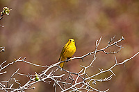 A male Yellow Warbler sits in the warm sun.