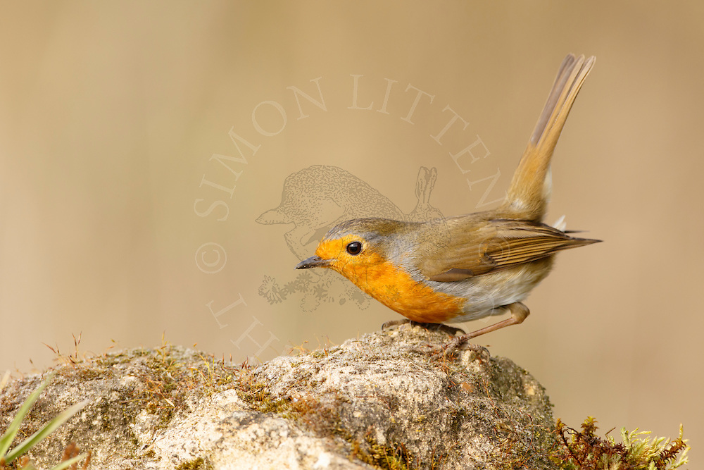 European Robin (Erithacus rubecula) adult,perched weathered rock, Norfolk, UK.