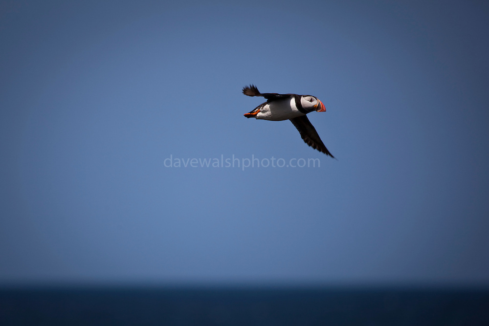 Atlantic Puffin, Fratercula arctica, flying over the north shore of  the Saltee Islands, off the coast of Wexford, Ireland.