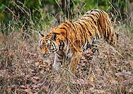Bengal tiger, Bandhavgarh National Park, Madhya Pradesh, India, Tigre de bengala, Parque Nacional Bandhavgarh, Madhya Pradesh, India