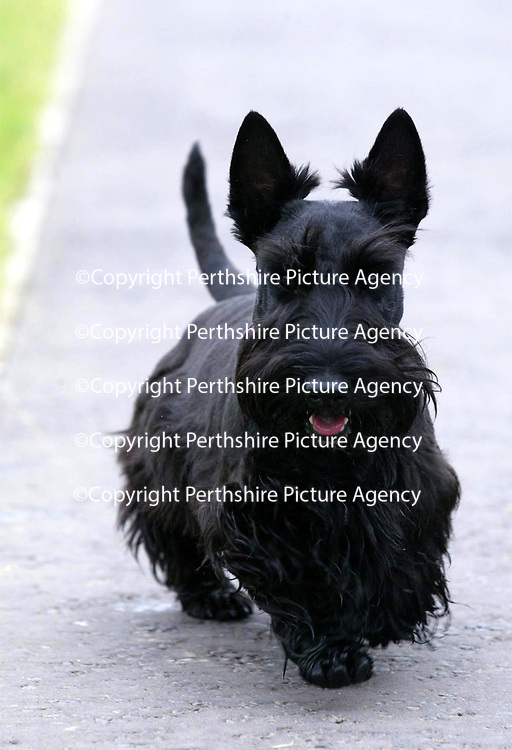 Angus pictured 09.09.02<br /> <br /> <br /> Pic by Graeme Hart<br /> Copyright Perthshire Picture Agency<br /> Tel: 01738 623350 / 07990 594431