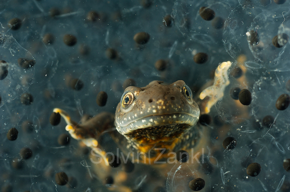 Great Crested Newt or Northern Crested Newt, male (Triturus cristatus) eating frogspawn. Lake Selent (Selenter See), Germany | Das bis zu 18 cm große Kammmolch-Männchen (Triturus cristatus) verlässt sattgefressen den Froschlaich-Ballen.