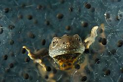 Great Crested Newt or Northern Crested Newt, male (Triturus cristatus) eating frogspawn. Lake Selent (Selenter See), Germany | Das bis zu 18 cm große Kammmolch-Männchen (Triturus cristatus) verlässt sattgefressen den Froschlaich-Ballen.