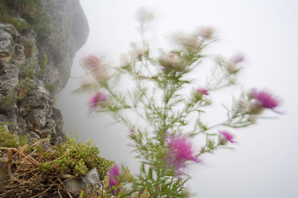 Cicada Star Thisle (Centaurea deusta) at the cliff edge of  Monte Titano, San Marino.