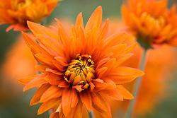 Chrysanthemum 'Bright Bronze Shoesmith'