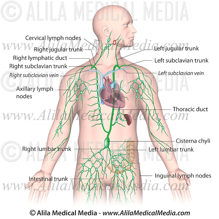 Lymphatic Drainage Alila Medical Images