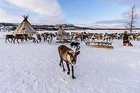 Rentiere, Polarural, Russland