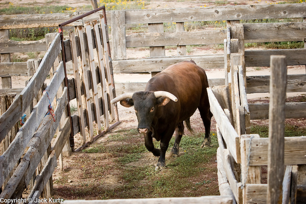 08 SEPTEMBER 2007 -- FT. DEFIANCE, AZ: A bucking bull runs into the corral at the All Women Rodeo in the Dahozy Stampede Rodeo Arena in Ft. Defiance, AZ, on the Navajo Indian Reservation. It was the first all women's rodeo on the Navajo Indian Reservation.  Photo by Jack Kurtz/ZUMA Press