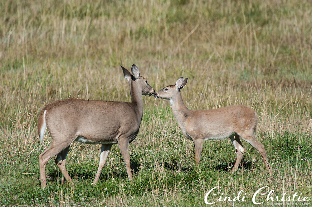Deer visit an agricultural field on Sept. 23, 2017, near Salmon, Idaho. (© 2017 Cindi Christie/Cyanpixel)