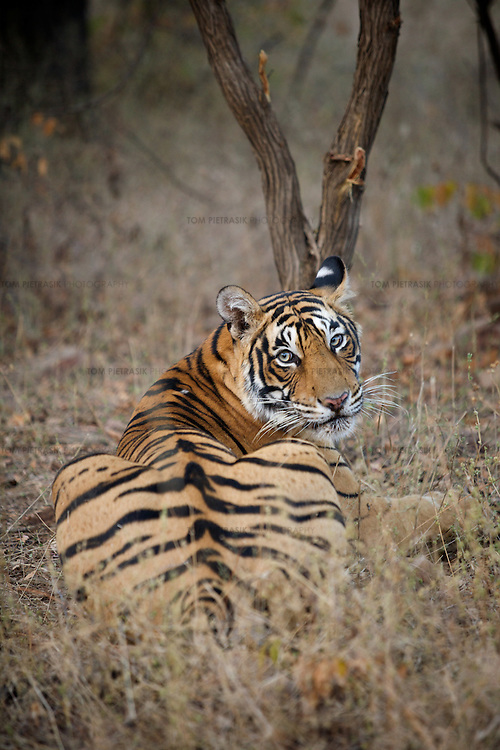A 2.5 year old female tiger known as T19 at Rantambore National Park, Rajasthan. T19 was one of the four candidates for relocation to Sariska National Park. The relocation was eventually aborted because none of the candidates could be located. ..Sariska National Park in Rajasthan was once home to dozens of tigers but by 2005 poaching had resulted in their complete eradication. Recognising the urgent need for intervention, the Indian and Rajasthan-state governments began the reintroduction of tigers into Sariska. Two cats were airlifted 200 km from Ranthambore National Park in June 2008. On November 5th an attempt to relocate a third tiger was postponed until later in the month. This relocation strategy is certainly an important part of the tiger conservation effort but many, including those like Dharmendra Khandal of the NGO Tiger Watch, argue that it will never be entirely successful without properly confronting the three essential issues that threaten tiger populations: poaching, habitat loss and the hunting of prey-base animals. In turn, these three issues cannot be addressed without acknowledging the malign influence of caste, poverty and poor administrative accountability. Poaching is almost exclusively undertaken by extremely poor and marginalised groups, including the Mogia caste who, without education, land and access to credit have limited alternative means of income. Many in the Mogia community also hunt bush meat for both their own consumption and to sell to others. This results in a depletion of the prey-base upon which tigers feed. Encroachment and grazing by those including the Gujar people who raise dairy herds, have led to habitat loss in Sariska and other parks. To properly tackle the problem of hunting and encroachment, the government must provide alternative livelihoods for marginalised groups and relocate them to viable land before - rather than after - the re-introduction of tigers. Compounding all these issues is the ridged hierarchy of India's