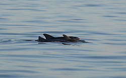 Three small dolphins swimming with a juvenile Humpback whale approximately 8nm off Broome's Cable Beach.