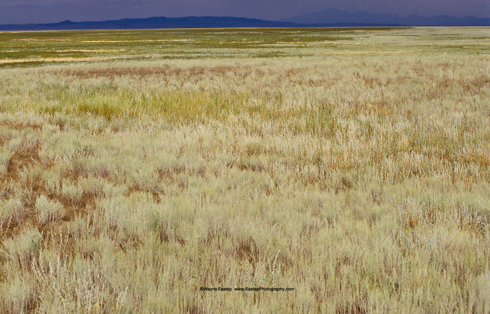 Fragrant grasses on the Kazakh Steppes, Kazakhstan