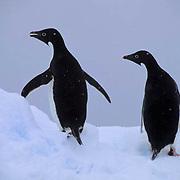 Adelie Penguin, (Pygoscelis adeliae) On ice cooling off. Paulet Island. Antarctica Peninsula.