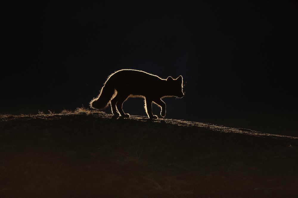 Greenland; discobay; polar fox (Vulpes lagopus)