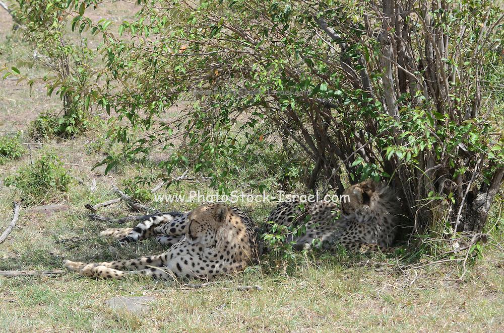 Kenya, Masai Mara, Cheetahs (Acinonyx jubatus) rests in a bush