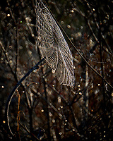 Golden Silk Spider Web covered with morning dew. Merritt Island National Wildlife Refuge. Image taken with a Fuji X-T2 camera and 100-400 OIS lens