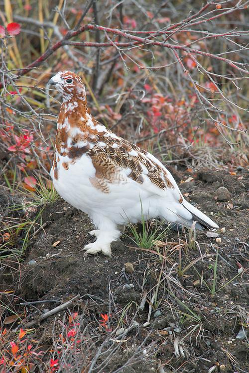 A portrait shot of an attentive ptarmigan female in winter plumage.