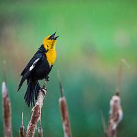 Yellow headed blackbird, Cherry River, Bozeman, Montana