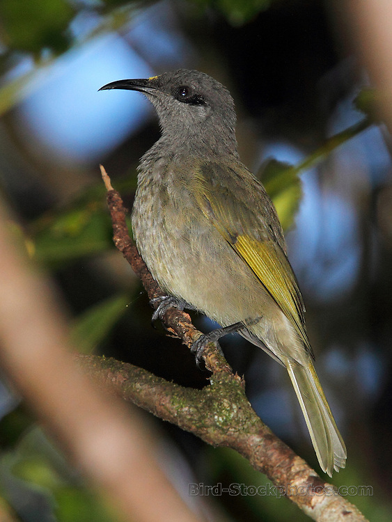 Grey-eared Honeyeater, (Dark-brown Honeyeater), Lichmera incana, endemic, Mount Koghi, New Caledonia, Vanuatu, by Adam Riley
