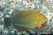 adult male shortnose wrasse, Geoffroy's wrasse, Potter's wrasse, or Hinalea aki-lolo, Macropharyngodon geoffroy, male, endemic to Hawaiian Islands and Johnston Island, Lone Tree Arch, Kohanaiki, Kona, Hawaii ( Big Island ), Hawaiian Islands ( Central Pacific Ocean )
