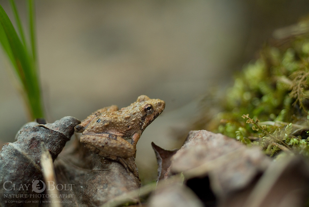 Northern cricket frogs (Acris repitans) are very small tree frogs, which very rarely spend time in trees but prefer grasses and shrubs near slow flowing, shallow water. They can be indentified by a distinctive Y on their backs.
