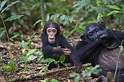 Chimpanzee<br /> Pan troglodytes<br /> One year old infant playing with stick<br /> Tropical forest, Western Uganda