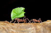 Leafcutter ants (Acromyrmex sp), Costa Rica. These species of tropical, fungus-growing ants are all endemic to South, Central America, Mexico and parts of the southern United States. Next to humans, leafcutter ants form the largest and most complex animal societies on Earth. In a few years, the central mound of their underground nests can grow to more than 30 metres (98 ft) across, with smaller, radiating mounds extending out to a radius of 80 metres (260 ft), taking up 30 to 600 square metres (320 to 6,500 sq ft) and containing eight million individuals Image by Andres Morya