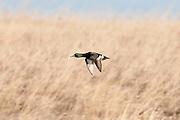 Ring-necked Duck hybrid, Aythya collaris x, McPherson County, South Dakota