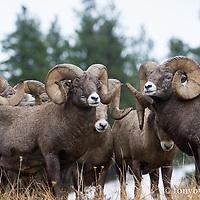 big group of big horn rams
