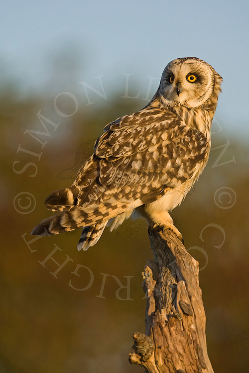 Short-eared Owl (Asio Flammeus) adult perched on dead tree stump in evening light, Norfolk, UK.